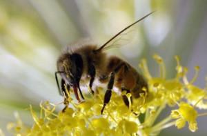 Пчелният-прашец-–-българската-суперхрана