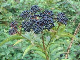 Черният бъз е една от най-популярните билки в народната медицина