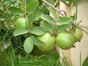 Гуава е нежно екзотично растение с чудесни свойства.