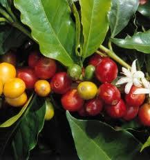 Зелени зърна от кафе помагат при диабет