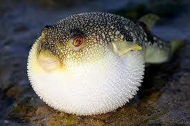 Рибата фугу съдържа отровата тетродотоксин, която е 160 000 пъти по-силна от кокаина.