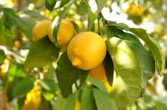 Лимоните със своите полезни антиацидни свойства са ефикасни и в борбата с рака.