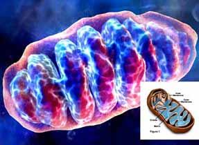 Учени откриха нещо невероятно в ядрото на клетката. На снимката - митохондрия - биоенергийна станция на живата клетка. Всяка клетка съдържа от 50 до 5000 митохондрии.