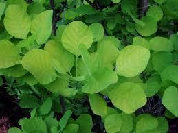 Смрадликата е една полезна билка с доказани лечебни свойства.