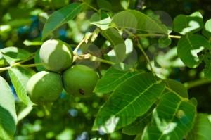 Рецепта от орехи полезна при рак и други болести