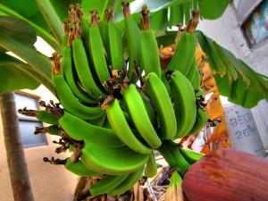 Бананите са третирани с опасен пестицид