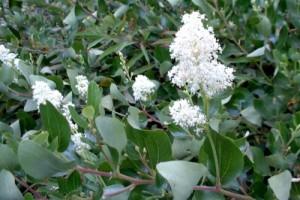 Червен корен е от полезните за пречистване на лимфната система билки