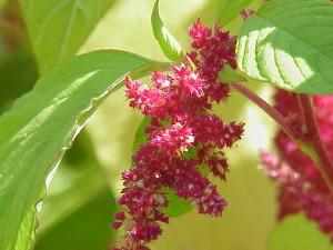 Амарант - растение с много ползи за здравето и при рак