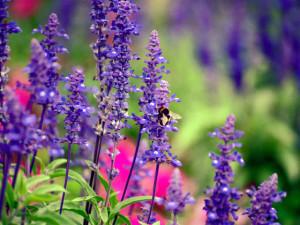 За зарастването на тъканите помага билката салвия