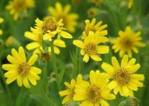 Една от най-популярните билки при ревматизъм и екзема е Арника