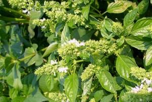 Билката босилек е полезна при превенция на рак със своите антиоксиднатни свойства