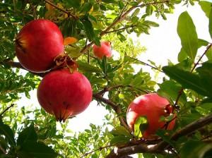 Плодът на растението нар е полезен против атеросклероза