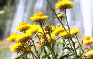 Билката безсмъртниче помага при проблеми с жлъчката, ревматизъм, импотентност и други здравословни проблеми