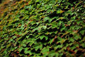 Растението бръшлян има лечебни свойства против ревматизъм, кашлица, бронхит и други болести