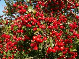 При високо кръвно налягане помагат тези билки