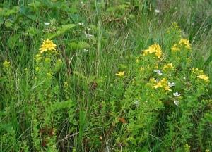 Често употребявани билки за гастрит
