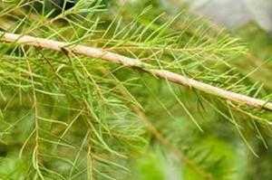 Лечение на гъбички по ноктите на краката с народни рецепти – чаено дърво