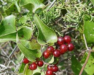 При копривна треска ще ви помогне лечение с билки - сарсапарила