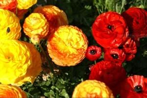 При лечение на дискова херния помагат и някои билки - лютиче