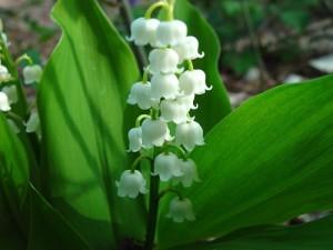Някои билки са подходящи при сърдечна недостатъчност - момина сълза - Convallaria majalis L.