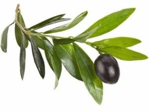 листа от маслина