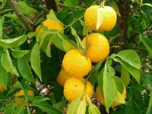 Юзу е плод от далечния Изток с произход Китай и е малко известен в Европа
