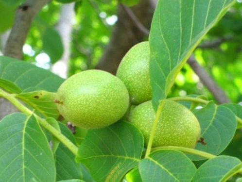 зелени орехчета с мед за очите