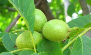 зелени орехи с мед за очите