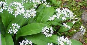 Едно уникално растение познато отдавна у нас е приличащата на момина сълза левурда
