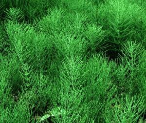 За лечение на бъбречна инфекция помагат и някои билки – хвощ