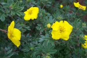 Лечение с билки при киста на яйчника - билка петопръстник