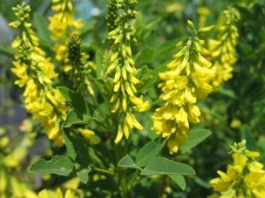 При лечение на Паркинсон помагат и някои билки – жълта комунига