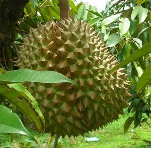 Екзотичният плод дуриан сваля лошия холестерол