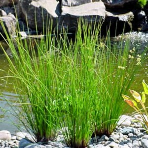 Bилка дзука расте по мочурливи и влажни места