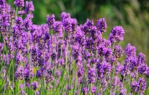 Една от ползите за здравето от билката лавандула е изчистването на тялото от токсини