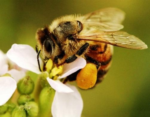 подагра и лечение пчелами