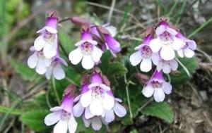 Цветето родопски силивряк притежава отлични лечебни свойства и може да издържа на суша