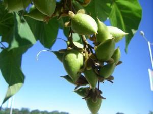 Плодовете на Адамово дърво са полезни при безплодие и други хормонални проблеми чрез оказване на влияние върху хипофизната жлеза