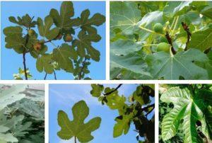 листа от смокиня ползи