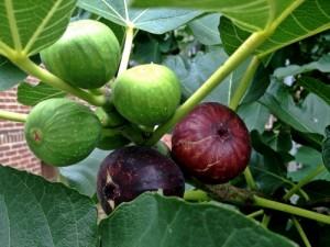Ползвайте смокини при бели петна по кожата