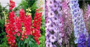 Красивата билка ралица (Delphinium consolida L ) се използва при хемороиди и главоболие