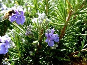 Популярната билка розмарин е с многостранни ползи за здравето