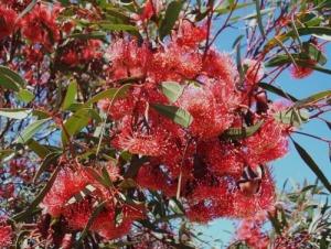 Полезните етерични масла - повишават качеството на живота ви - евкалиптово дърво