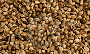 Лековитото конопено семе при миома може да ви е от полза