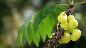 При себореен дерматит се използва билката амла