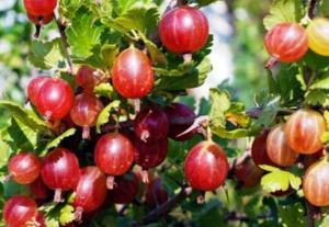цариградско грозде