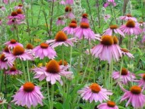 При гнойна ангина може да си помогнете и с природни средства – билка ехинацея