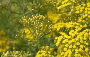 Билката жълт смил може да се ползва за лечение на много болести