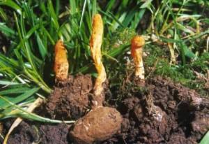 Кордицепс е една от билките препоръчвани от източната медицина за профилактика на киста и за повишаване н алкалността на тялото
