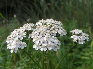 Билката бял равнец е една от най-често използваните билки